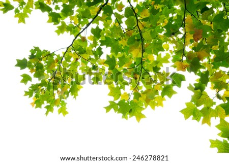 Colorful maple leaves on white background