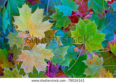 Colorful maple leaves with hoarfrost in the late autumn - stock photo