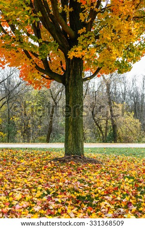 Colorful Maple tree during Autumn with tons of leaves on the ground around the trunk
