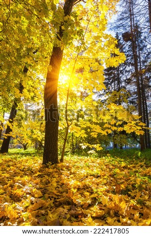 Colorful maple tree in the sunny autumn park