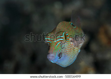colorful marine fish, taken at Laha Beach, Ambon, Indonesia. At about 10 meters depth close to coral reef