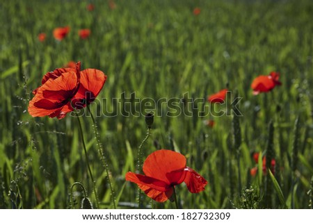 Colorful meadow with poppies . - stock photo