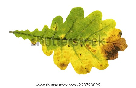 Colorful oak autumn leaf isolated on the white background - stock photo