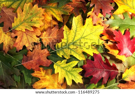 Colorful oak autumn leaves background. - stock photo