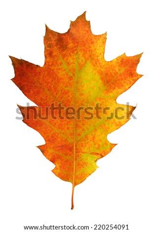 Colorful oak leaf               - stock photo