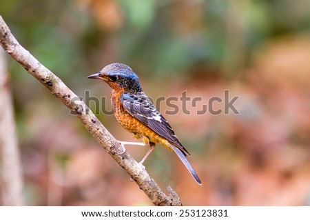 Colorful of bird White-throated Rock Thrush on branch