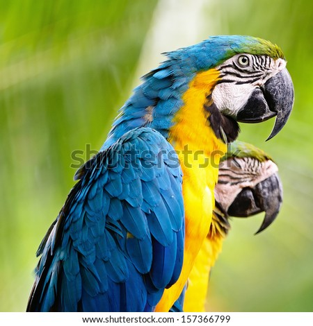 Colorful of Blue and Gold Macaw aviary, side and face profile