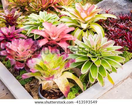 colorful of Bromeliad garden, Beautiful colorful foliage on bromeliad plant - bromeliad garden, flowers guzmania beautiful green leaves - stock photo