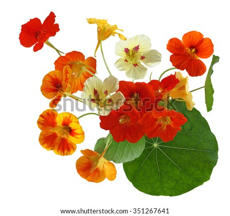 Colorful of nasturtium flower bouquet isolated on white background - stock photo