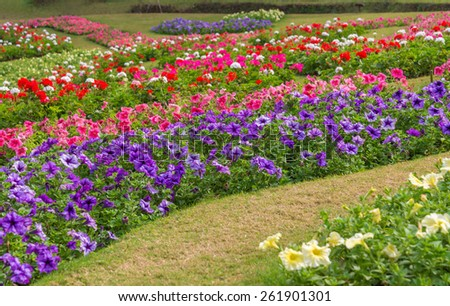 Colorful of petunia flowers in garden.