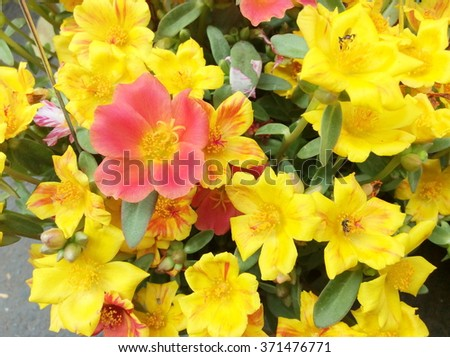 Colorful of Portulaca oleracea