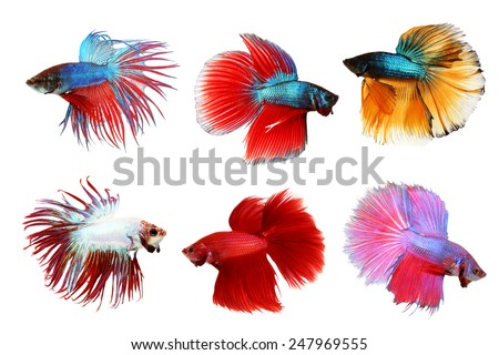 colorful of siamese fighting fish , betta isolated on white background - stock photo