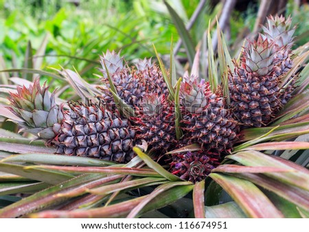 Colorful of the little pineapple on its parent plant. - stock photo