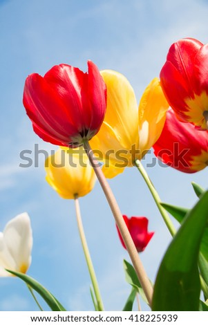 Colorful of tulip