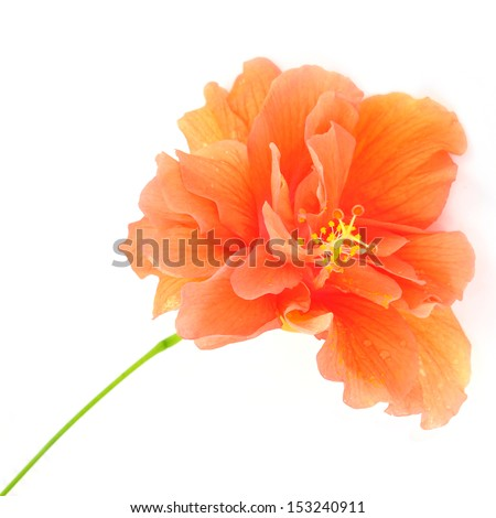 Colorful Orange Hibiscus flower isolated on a white background - stock photo