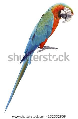 Colorful orange parrot macaw isolated on white background - stock photo