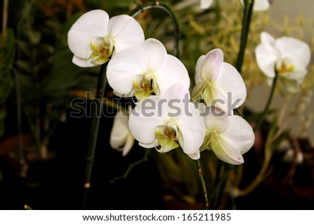Colorful Orchid Species Plain Bright White Picture