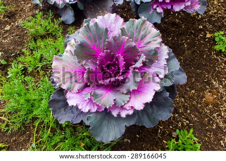 Colorful Ornamental cabbage - stock photo