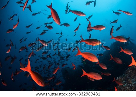Colorful Pacific creole school in huge numbers around the remote island of Cocos in the eastern Pacific Ocean. This legendary Costa Rican island is known for its healthy fish and shark populations. - stock photo