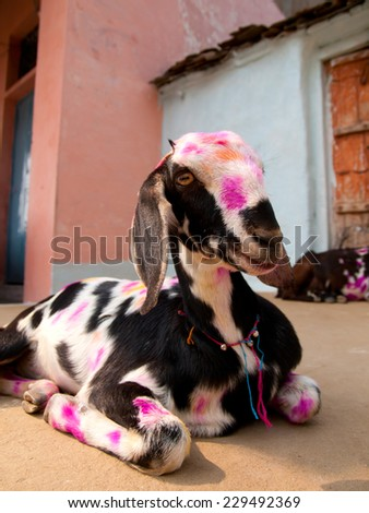 Colorful painted goat during the Diwali festival in Orchha, India - stock photo