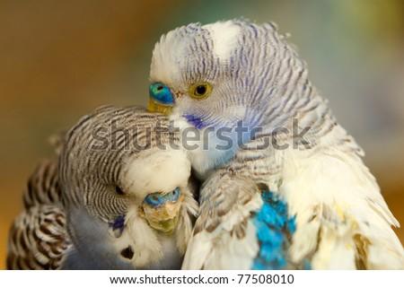 COLORFUL PAIR OF BUDGERIGAR BIRDS SHOOT IN ECUADORIAN RAINFOREST  - stock photo