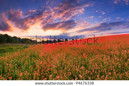 Colorful panorama with a field of red flowers. Sunset - stock photo