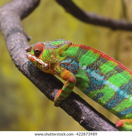 Colorful Panther chameleon (furcifer pardalis) resting on a branch in natural environment. - stock photo