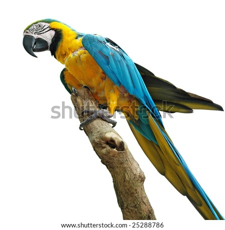 colorful parrot isolated with clipping path - stock photo