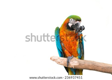 colorful parrot standing on a branch isolated on white background