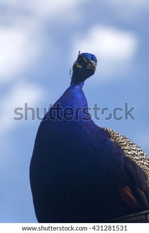 Colorful peacock against a blue sky with clouds - stock photo
