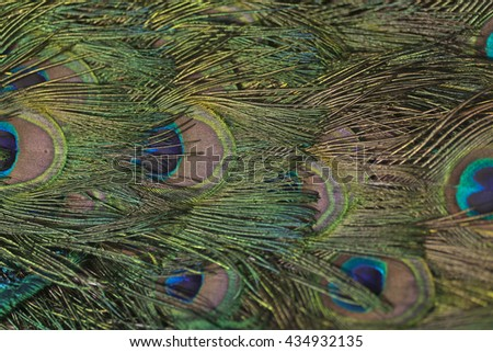 Colorful peacock feather texture with eyes showing - stock photo