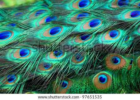 Colorful peacock feathers,Shallow Dof. - stock photo
