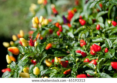 Colorful peppers at Laura Plantation - stock photo