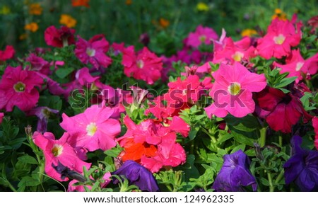 colorful petunia flower - stock photo