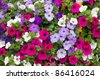 Colorful petunia flowers close up. - stock photo
