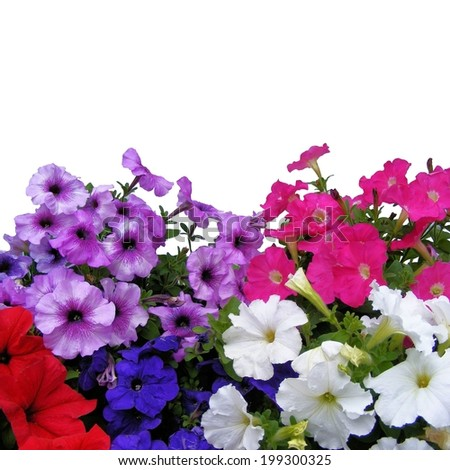 Colorful petunia flowers isolated on white background - stock photo