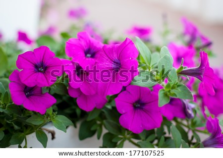 Colorful petunias close-up, selective focus, shallow DoF - stock photo
