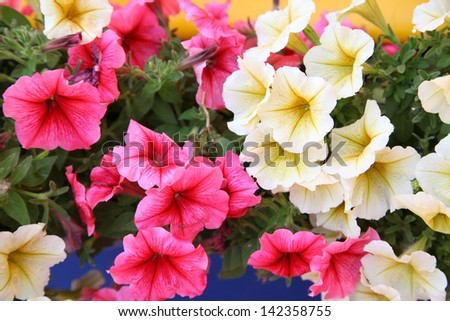 Colorful petunias closeup - stock photo