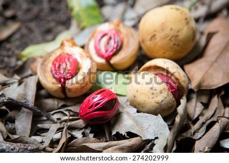 Colorful photo of Nutmeg fruit - stock photo