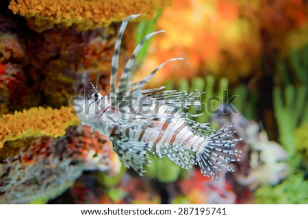 Colorful picture of Spotfin lionfish - stock photo