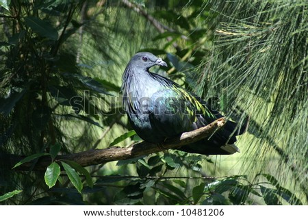 Colorful Pigeon - stock photo