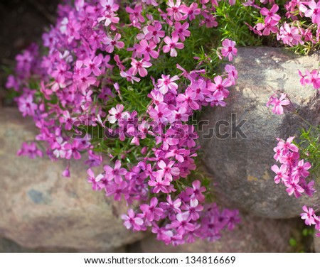 Colorful pink creeping phlox ,outdoors - stock photo