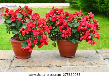 Colorful planters on the patio, Betulia begonia - stock photo