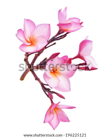 colorful plumeria flower isolated
