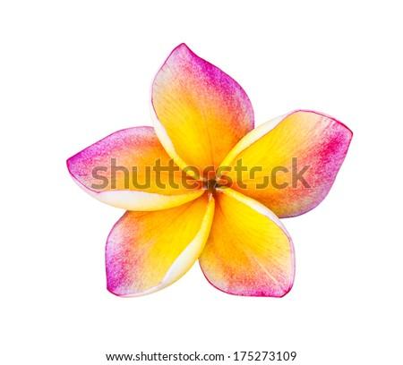 colorful plumeria flower isolated on white - stock photo
