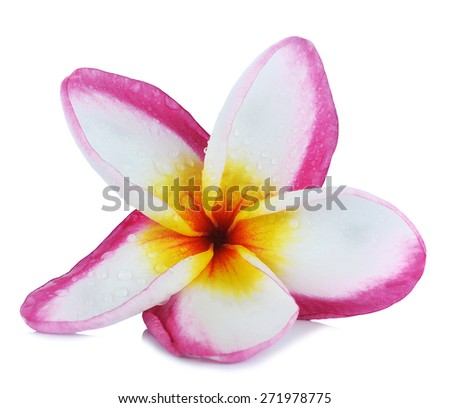 colorful plumeria flower isolated on white backgrond. - stock photo