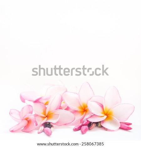 colorful plumeria flower on white background - stock photo
