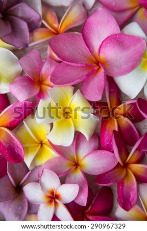 Colorful Plumeria flowers