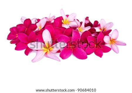 Colorful Plumeria flowers isolated on white background - stock photo