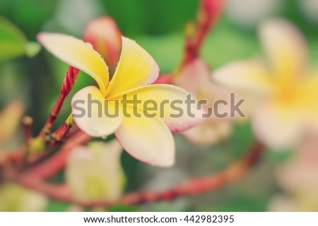 Colorful Plumeria flowers with drops of water